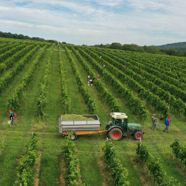 Vinogradari koji poznaju svaki čokot u vinogradu